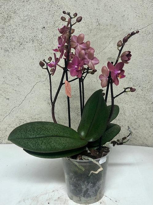 Orkidé 'Perfium Diffusion'