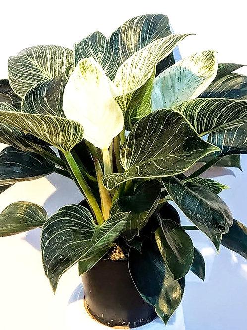 Philodendron Birkin 'White Measure'
