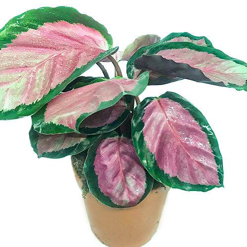 Calathea Roseopicta 'Rosy' NY PRIS!