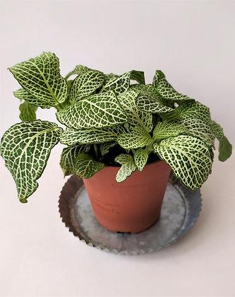 Fittonia 'Leather Leaf'