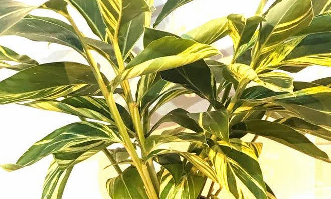 Alpinia 'Zerumbet Variegata'