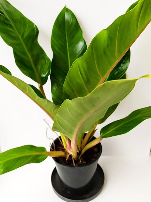Philodendron Martianum 'Fatboy'