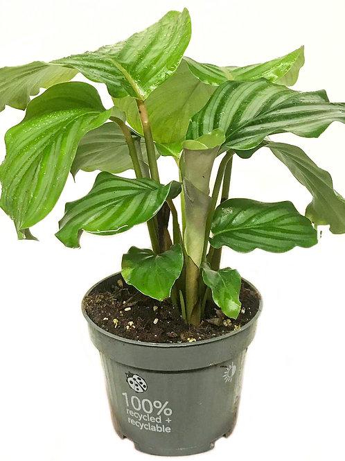 Calathea 'Orbifolia' NY PRIS!