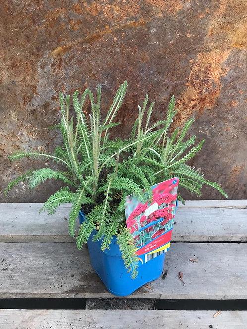 Achilea Millefolium 'Red Velvet'