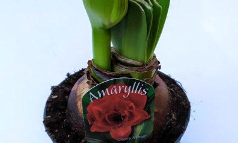 Amaryllis 'Cherry Nymph'