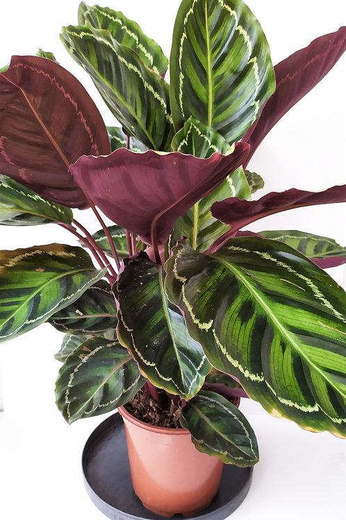 Calathea 'Roseopicta Illustris'