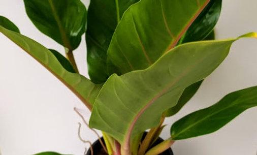 Philodendron Martianum 'Fatboy'