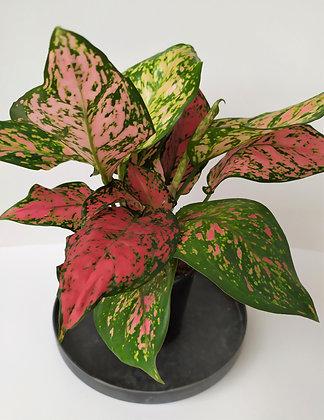Aglaonema Hybrid 'Pink Valentine'