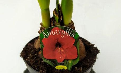 Amaryllis 'Olaf'