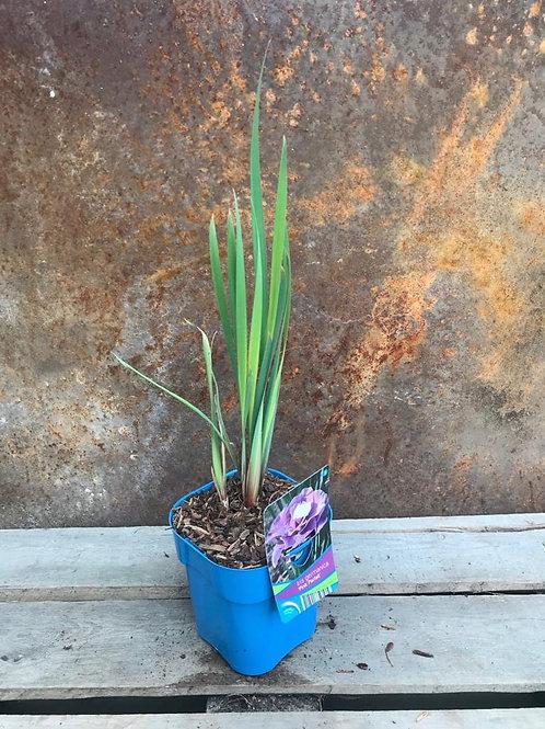 Iris Germanica 'Pink Parfait'