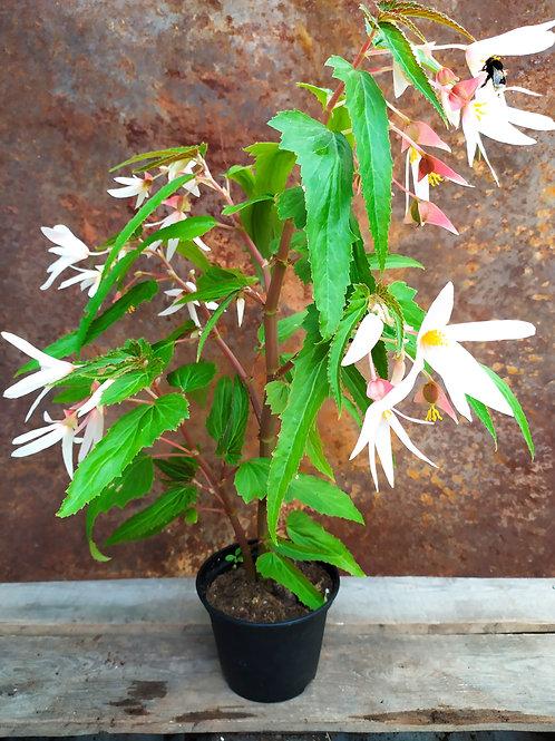 Begonia 'Bertinii Worthiana'