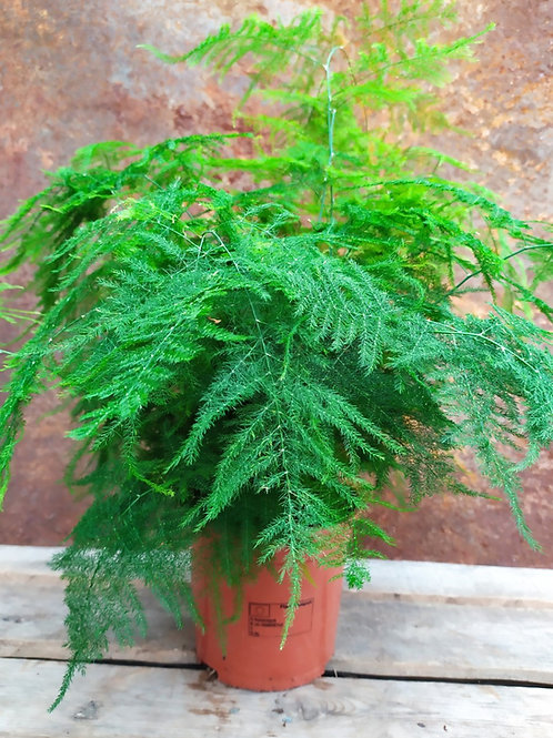 Asparagus 'Setaceus Plumosus'