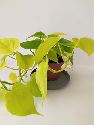 Philodendron 'Lemon Lime'