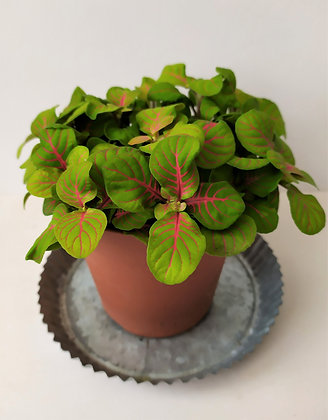 Fittonia 'Red line green'