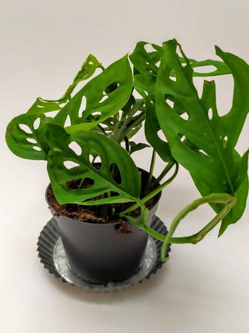 Monstera 'Monkey Leaf'