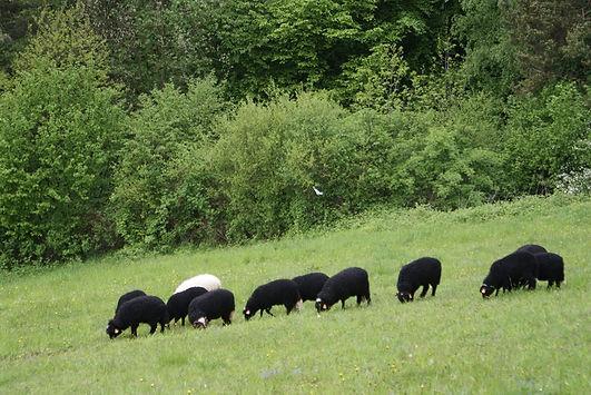 owce pastwisko 2.jpg