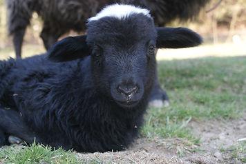 czarna owca.jpg