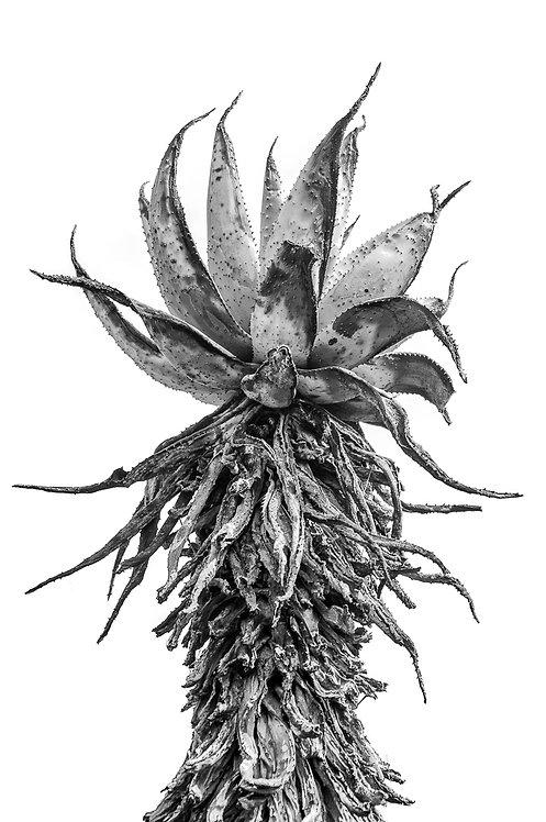 Aloe on White Canvas Print