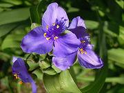 Spiderwort, Ohio (1).JPG