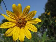 Sunflower, Sawtooth (1).JPG
