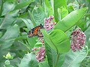 Milkweed, Common (1).JPG