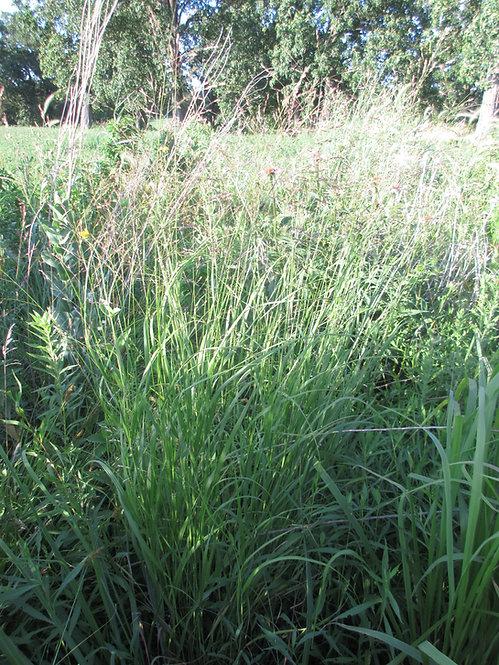 Switch Grass