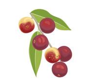 Organic Camu Camu Berry