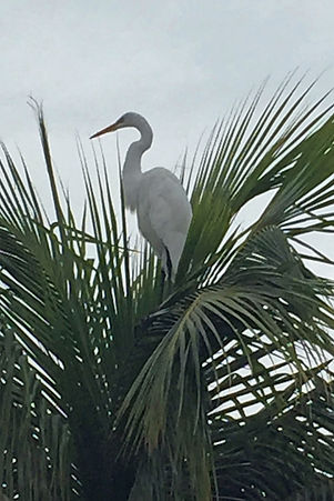 egret, Providenciales, Turks and Caicos
