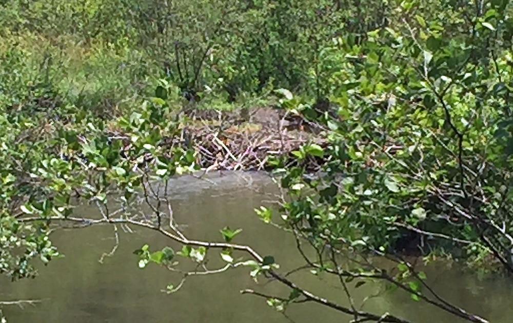Beaver dam, Ashuwillticook Rail Trail