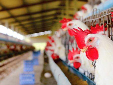 Avicultura: oportunidade para iniciar na atividade ou modernizar a produção com juro baixo, carência