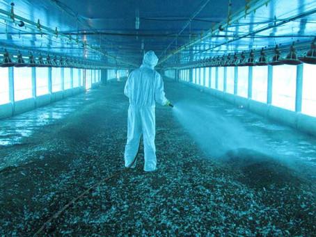 As dificuldades do manejo da lona de fermentação de aviários