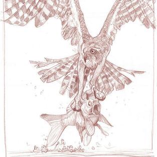 Osprey with Carp