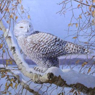 Snowy Owl on Birch