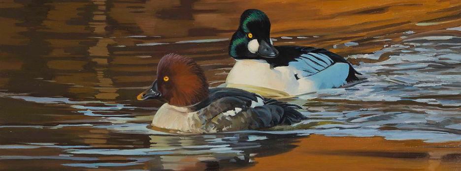 2021-On-Golden-Pond-Common-Goldeneye-by-