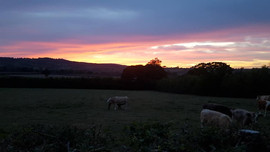 sunset with cows.jpg