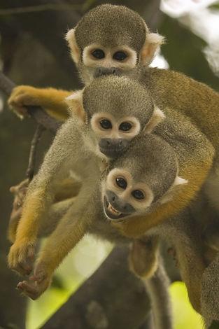 Squirrel Monkeys | Monkey Jungle | Wildlife Park | Tourist Attraction | Miami & South Florida