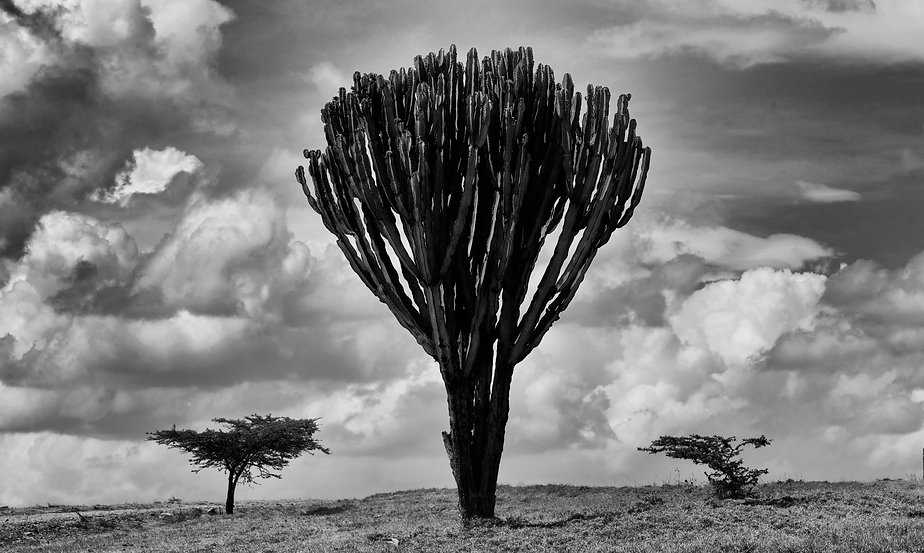 Candelabra Cactus, monochrome,  Lewa, Kenya, Africa by Michael Potter