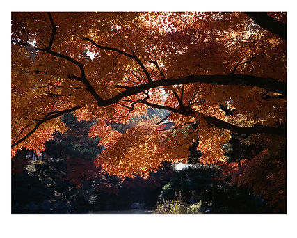 Red Maple, Kyoto, Japan by David Usill at Atelier Editions