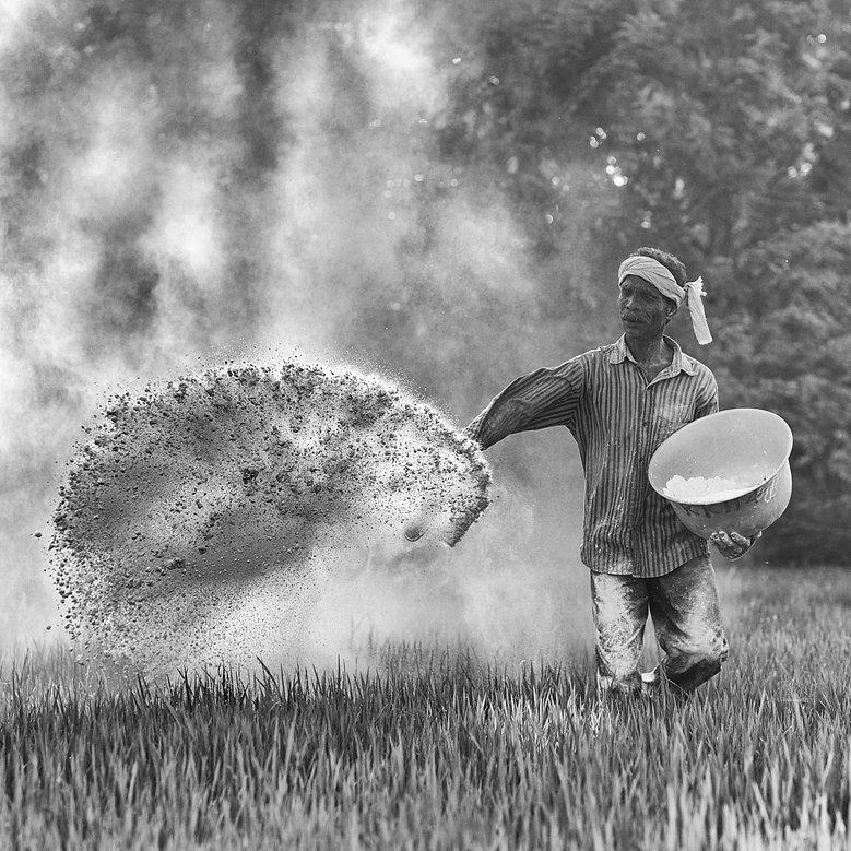 Dusting a field with fertiliser in Kerala