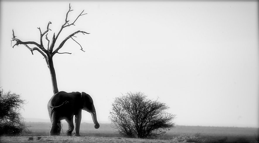 Lone elephant rubbing a tree - Kenya
