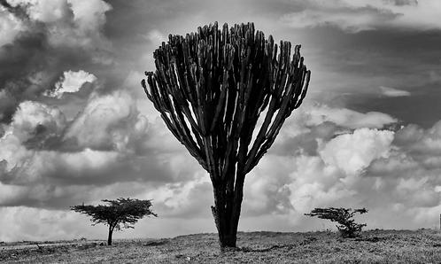 Candleabra, Lewa, Kenya