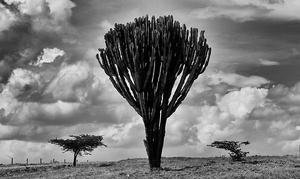 Candelabra 1 - Borana, Kenya.