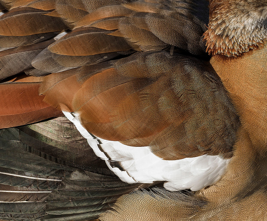 Close up of a bird's feathered wing