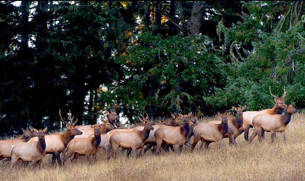 Cannon Beach Elk