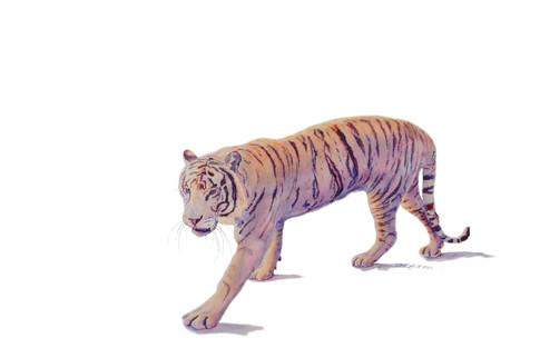 White Bengal Tiger_W/c