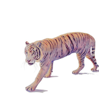 White Bengal Tiger_Watercolor