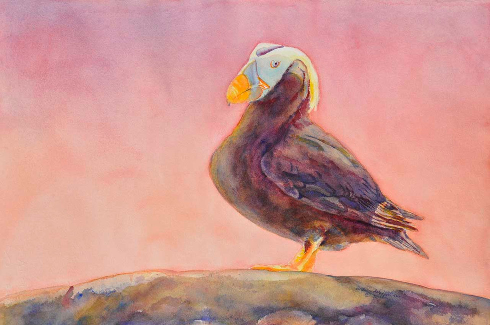 Tufted Puffin_W/c