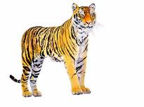 Tiger_Watercolor