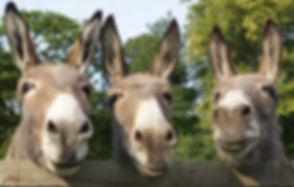 Donkeys-3-donkeys - Copy.jpg