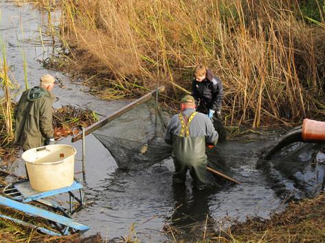 in einem Netz hinterm Auslauf werden die Fische abgefischt